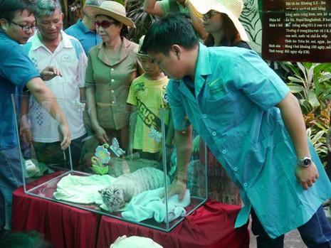 Thảo Cầm viên làm tiệc đầy tháng chào mừng 3 chú hổ trắng con - ảnh 5