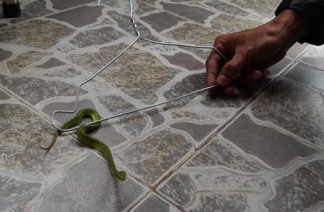 Rắn lục đuôi đỏ đu bên cửa ở Sài Gòn - ảnh 3