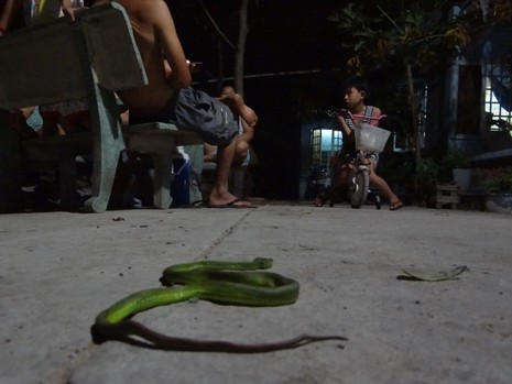 Rắn lục đuôi đỏ đu bên cửa ở Sài Gòn - ảnh 4