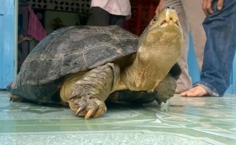 Rùa 'khủng' đi lạc chưa cấp giấy phép cho ai nuôi nhốt - ảnh 1