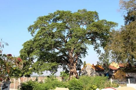 Một làng có 3 cụ cây gần 300 năm tuổi - ảnh 2