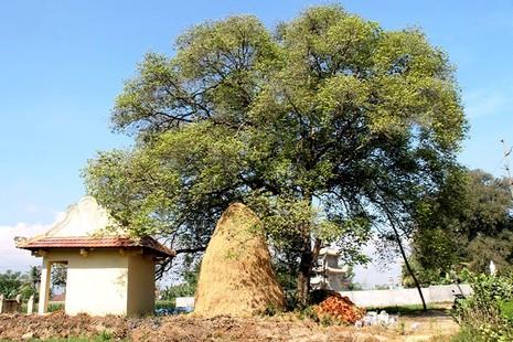 Một làng có 3 cụ cây gần 300 năm tuổi - ảnh 8