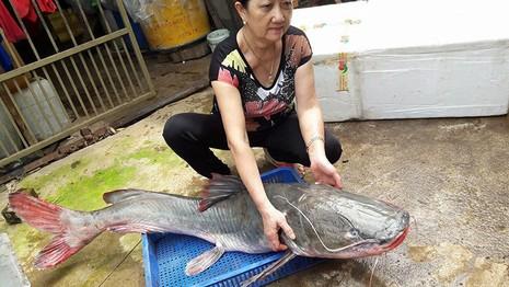 Cá lăng 'khủng' to bằng người lớn trên sông Sêrêpốk dính câu - ảnh 2