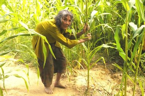 Cụ bà 90 tuổi lưng còng, tóc bạc vẫn trồng ngô tỉa bắp - ảnh 3