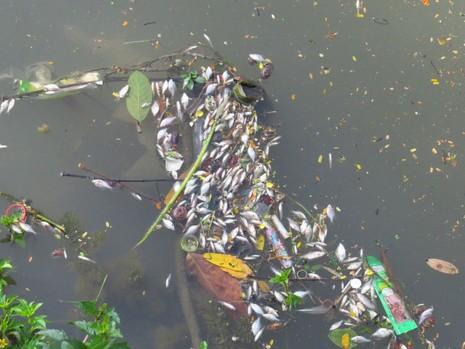 Cá nổi dày đặc trên sông An Cựu - ảnh 1