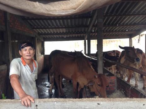 Mô hình nuôi bò thoát nghèo của ông Nguyễn Văn Tha