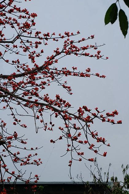 Ngắm cây gạo trăm tuổi nở hoa đỏ rực - ảnh 13