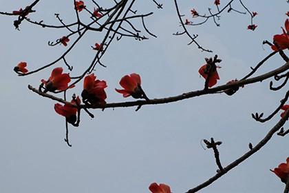 Ngắm cây gạo trăm tuổi nở hoa đỏ rực - ảnh 14