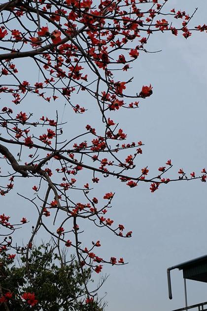 Ngắm cây gạo trăm tuổi nở hoa đỏ rực - ảnh 12