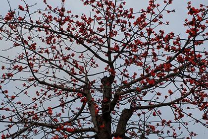Ngắm cây gạo trăm tuổi nở hoa đỏ rực - ảnh 11