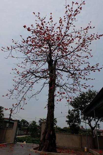 Ngắm cây gạo trăm tuổi nở hoa đỏ rực - ảnh 9