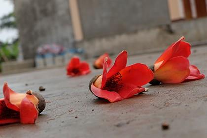 Ngắm cây gạo trăm tuổi nở hoa đỏ rực - ảnh 7