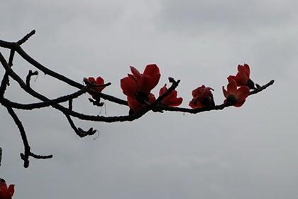 Ngắm cây gạo trăm tuổi nở hoa đỏ rực - ảnh 5