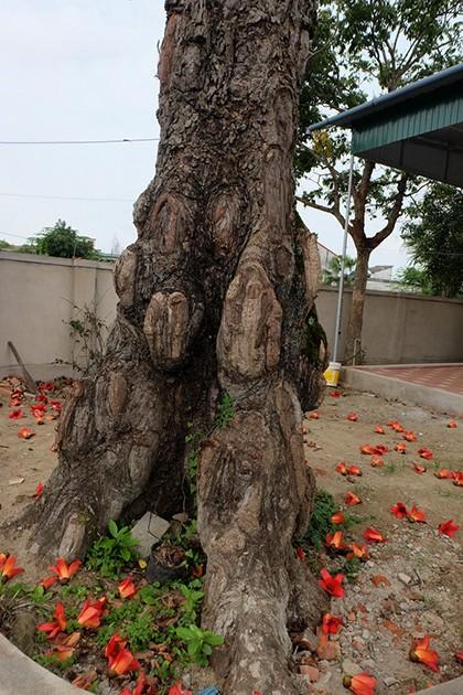 Ngắm cây gạo trăm tuổi nở hoa đỏ rực - ảnh 4