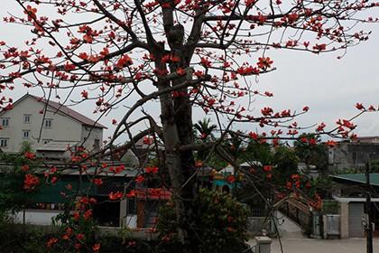 Ngắm cây gạo trăm tuổi nở hoa đỏ rực - ảnh 3