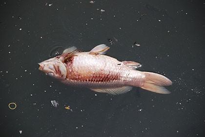 Kênh Nhiêu Lộc – Thị Nghè đầy rác bốc mùi, cá chết hàng loạt - ảnh 1