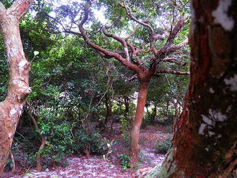 Khu rừng trâm bầu cổ che làng khỏi cát bay  - ảnh 5