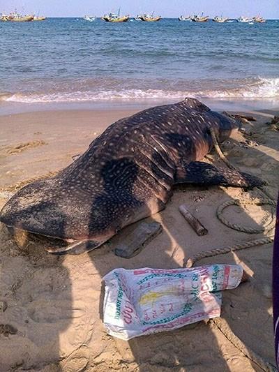 Cá voi 'Ông Thông' nặng gần 4 tấn trôi dạt vào Mũi Né - ảnh 2