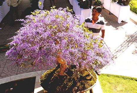 Ngỡ ngàng ngắm cây mai lạ có hoa màu... tím - ảnh 5