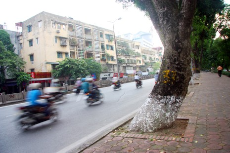 Tiếc nuối khi hàng cây Kim Mã phải di chuyển - ảnh 1