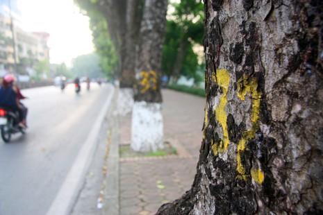 Tiếc nuối khi hàng cây Kim Mã phải di chuyển - ảnh 2