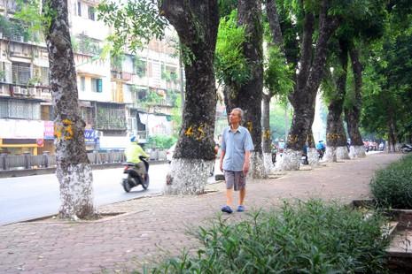 Tiếc nuối khi hàng cây Kim Mã phải di chuyển - ảnh 7