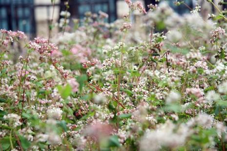 Thiếu nữ Hà thành tạo dáng bên vườn hoa tam giác mạch - ảnh 3