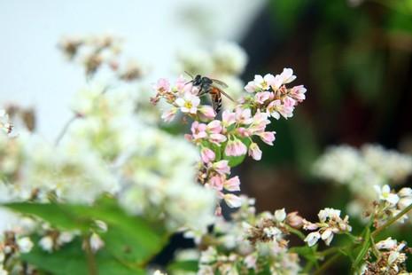 Thiếu nữ Hà thành tạo dáng bên vườn hoa tam giác mạch - ảnh 5