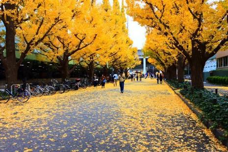 Đẹp mê say với mùa lá vàng ở Nhật Bản - ảnh 1