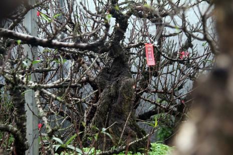 Vẻ đẹp 'sang chảnh' của đào Thất thốn trên đất Nhật Tân - ảnh 4