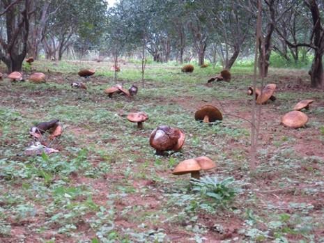 Huế: Hoang mang nấm khổng lồ tấn công vườn thanh trà - ảnh 6