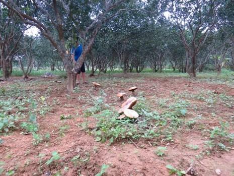 Huế: Hoang mang nấm khổng lồ tấn công vườn thanh trà - ảnh 7