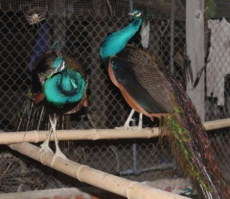 Người mê theo vũ điệu chim công - ảnh 3