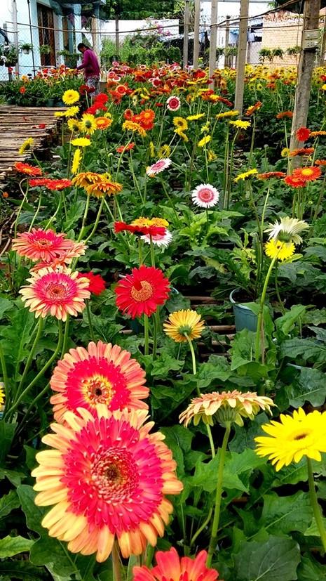 Nhà vườn cung ứng 1,9 triệu chậu hoa kiểng phục vụ tết - ảnh 5