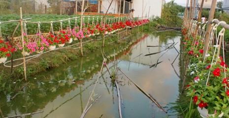 Nhà vườn cung ứng 1,9 triệu chậu hoa kiểng phục vụ tết - ảnh 4