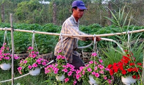 Nhà vườn cung ứng 1,9 triệu chậu hoa kiểng phục vụ tết - ảnh 3