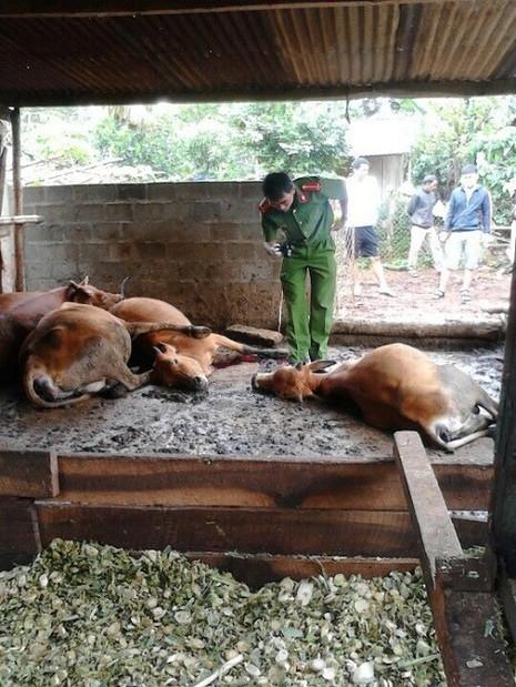 Hoang mang vì ngủ dậy thấy bò chết hàng loạt - ảnh 1