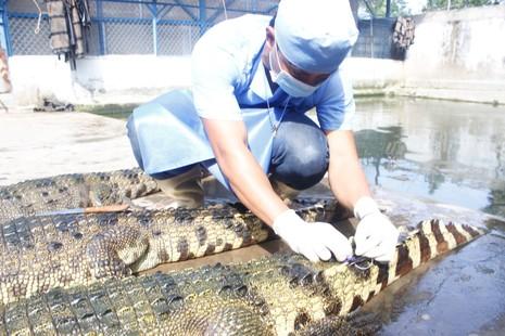 Bị bỏ đói lâu ngày, hàng vạn con cá sấu 'thoi thóp'   - ảnh 1
