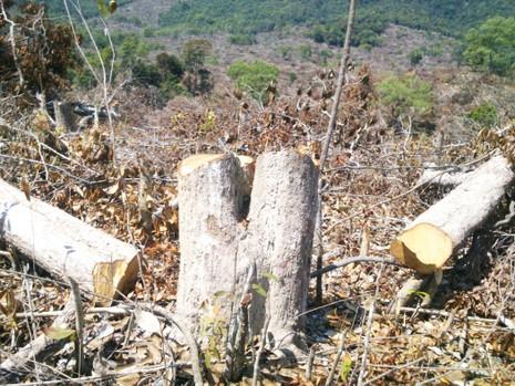 Xem xét khởi tố vụ án phá 110 ha rừng ở Phú Yên - ảnh 1