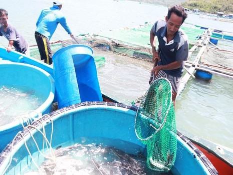 Người dân vớt cá chết hàng loạt ở đầm Nha Phu