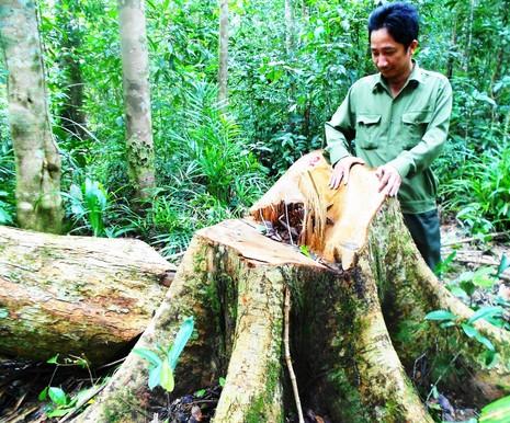 Khởi tố vụ chặt 13 cây gỗ quý trong rừng phòng hộ - ảnh 1