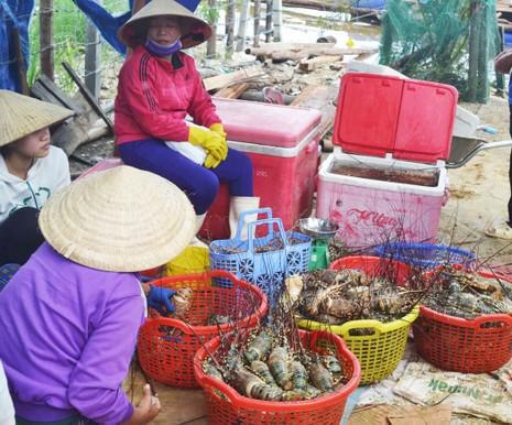Hơn 600.000 con tôm hùm ở Phú Yên chết - ảnh 3