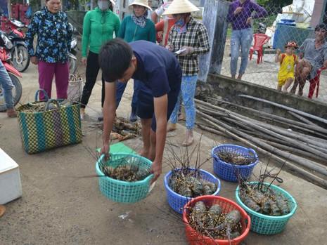 Hơn 600.000 con tôm hùm ở Phú Yên chết - ảnh 2