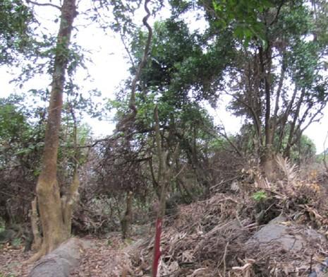 Ngang nhiên dựng lán trại, mở đường vào... phá rừng Sơn Trà - ảnh 2