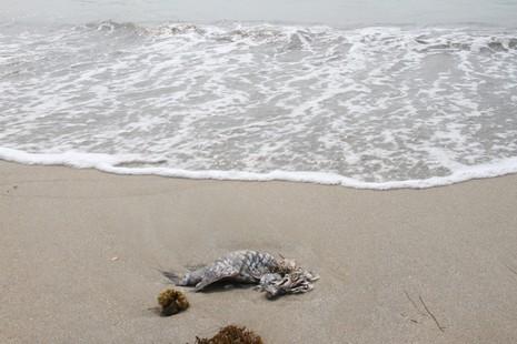 Đà Nẵng xuất hiện cá chết trôi dạt vào bờ - ảnh 1