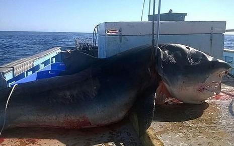 Bắt được cá mập hổ 'khổng lồ' dài bốn mét tại Úc - ảnh 1