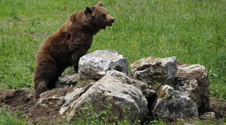 Gấu xông vào phá hỏng cuộc tập trận của 3.000 binh sĩ - ảnh 1