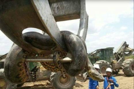 Trăn khổng lồ 10 mét khiến công nhân Brazil khiếp vía