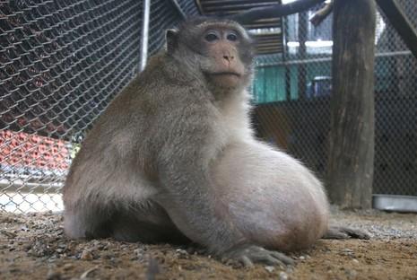 Khỉ quá béo, phải ăn kiêng giảm cân - ảnh 1