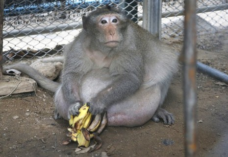 Khỉ quá béo, phải ăn kiêng giảm cân - ảnh 2